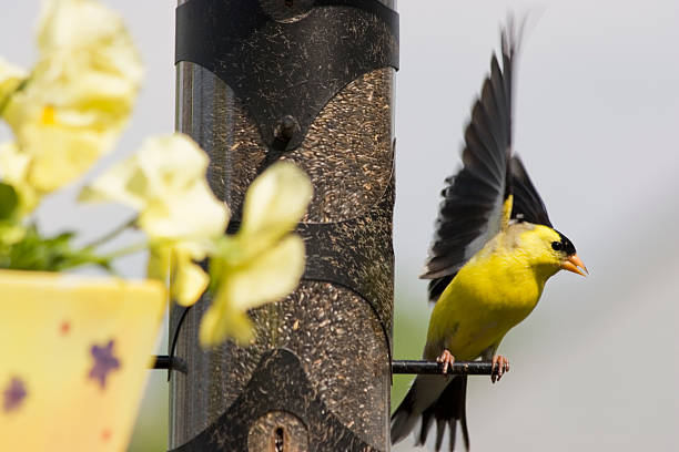 American Goldfinch - Taking Off  american goldfinch stock pictures, royalty-free photos & images
