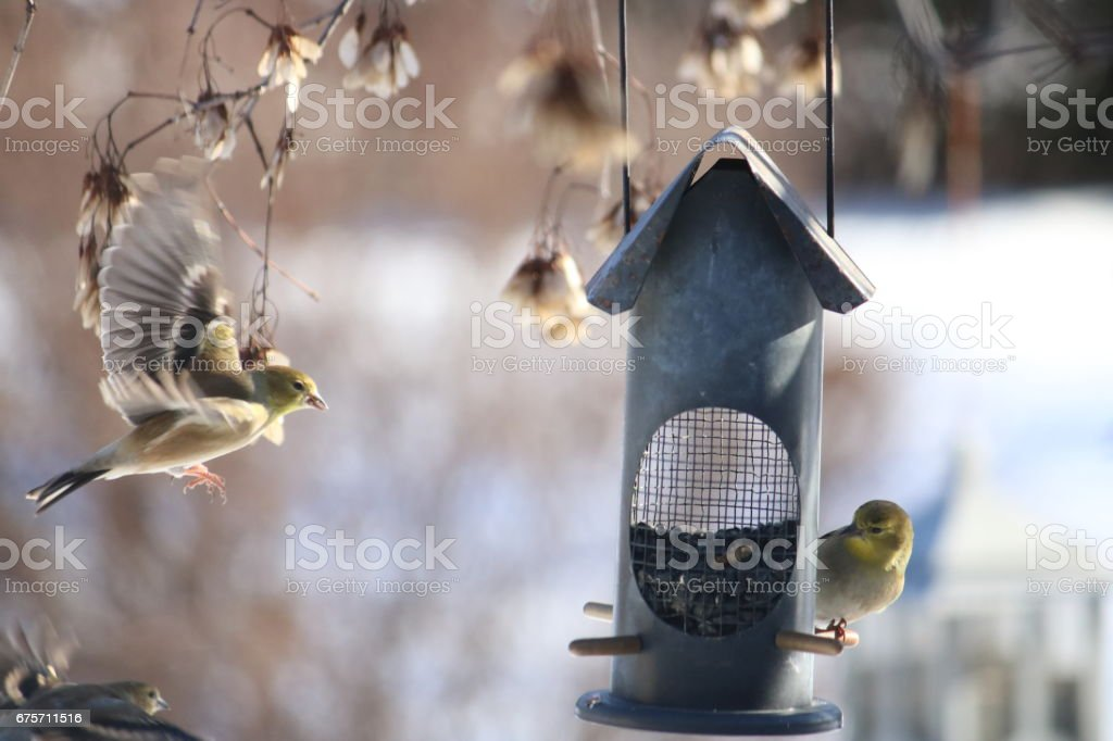 American Goldfinches Feeding royalty-free stock photo