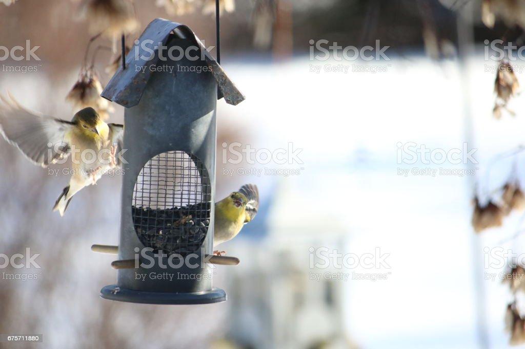 American Goldfinches Feeding 免版稅 stock photo