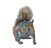 American gray squirrel isolated on white background