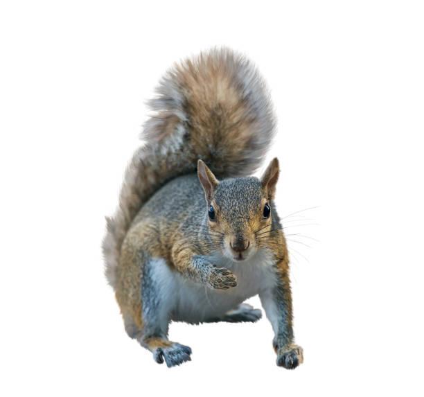 écureuil gris américain sur le fond blanc - écureui photos et images de collection