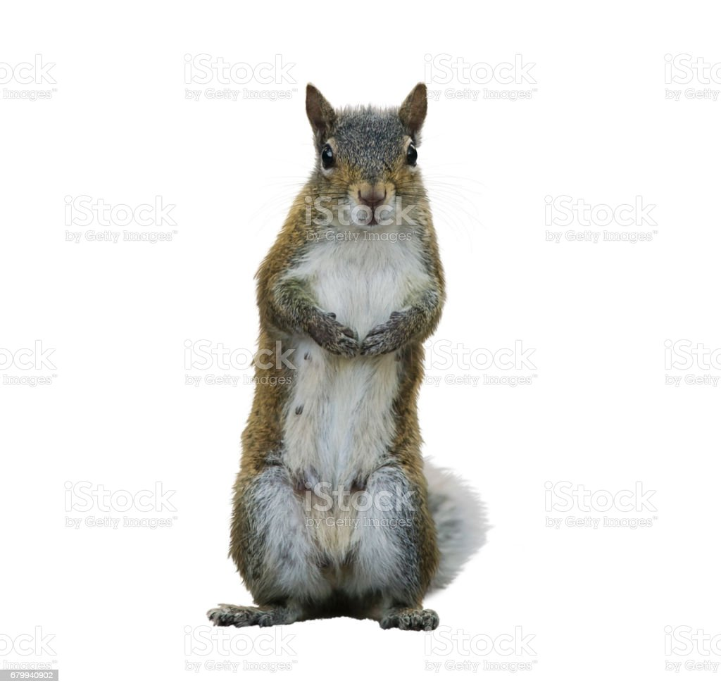 American Gray Squirrel stock photo