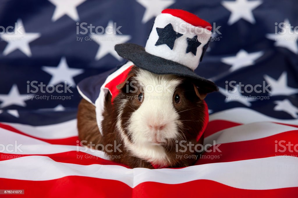 American Guinea Pigs (Cavia porcellus) stock photo