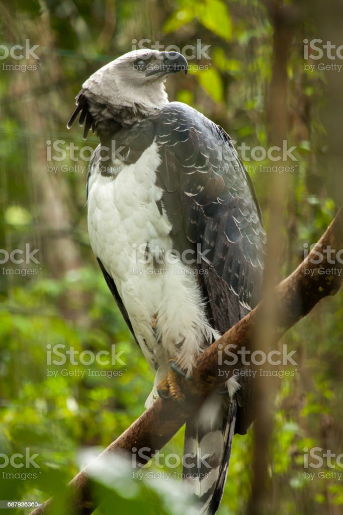 american harpy eagle harpia harpyja stock photo more pictures of