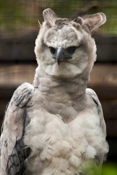 American harpy eagle - harpia harpyja stock photo