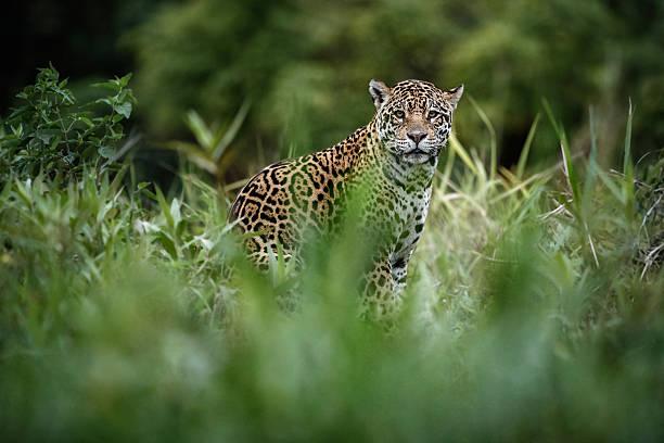 American jaguar female in the nature habitat picture id615890348?b=1&k=6&m=615890348&s=612x612&w=0&h= llr28efp69sqls6rjiwh002gf5z iswfvk39ko cge=