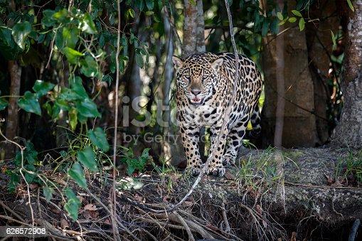 istock American jaguar female in the nature habitat 626572908