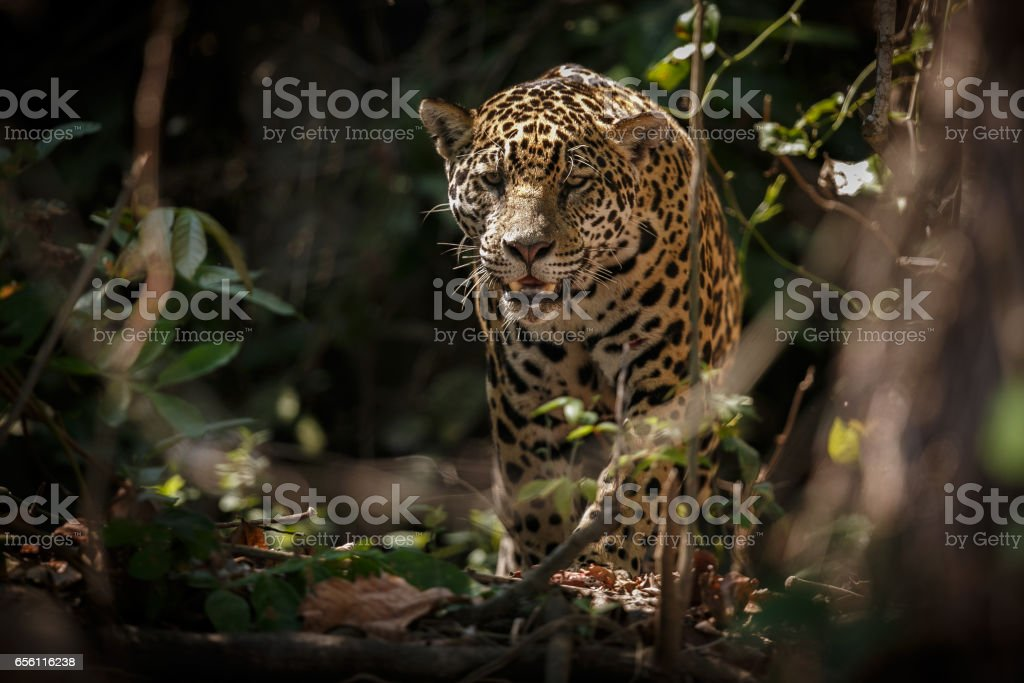 American jaguar in the nature habitat of brazilian jungle stock photo