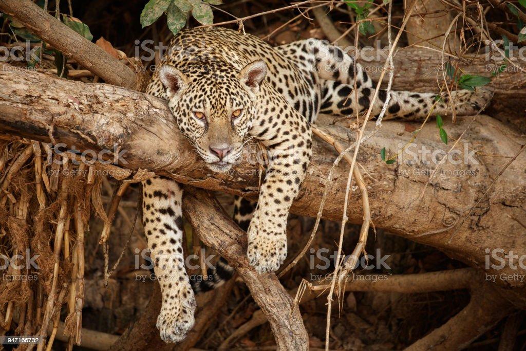American jaguar in the nature habitat stock photo