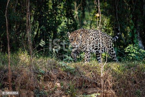 istock American jaguar male in the nature habitat 615890854