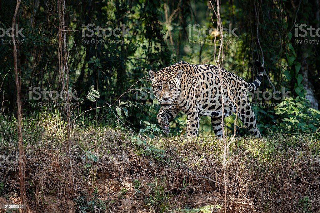 American jaguar male in the nature habitat stock photo