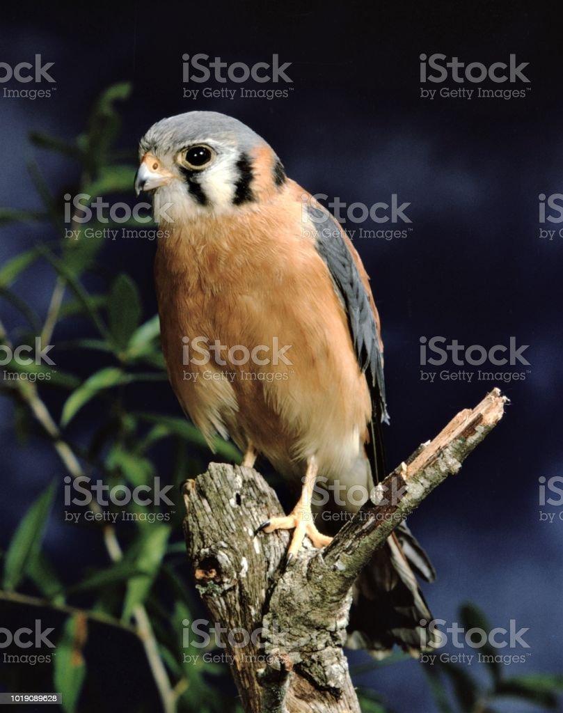 American Kestral (Falco Sparverius) stock photo