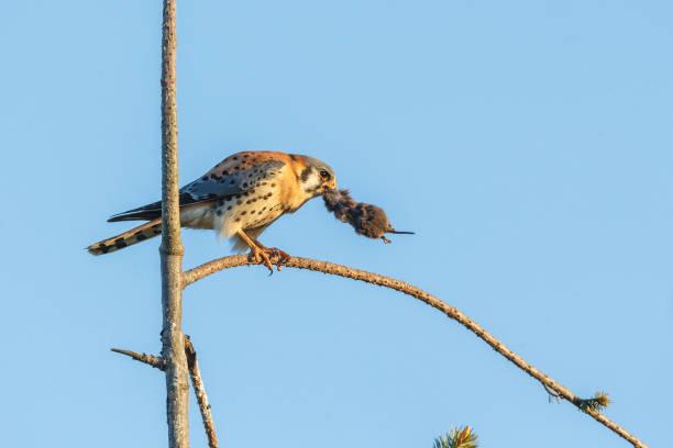 american kestrel bird stock photo