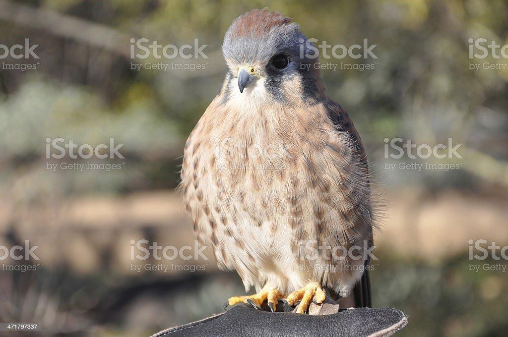 American Kestrel Bird royalty-free stock photo