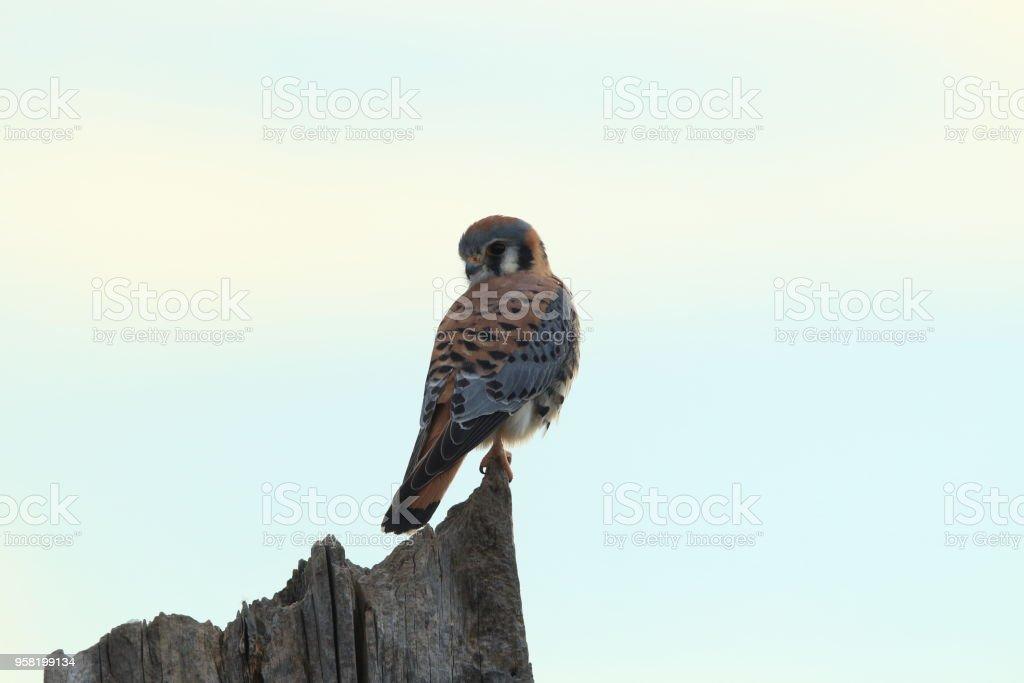 American kestrel (Falco sparverius) Bosque del Apache National Wildlife Refuge New Mexico stock photo