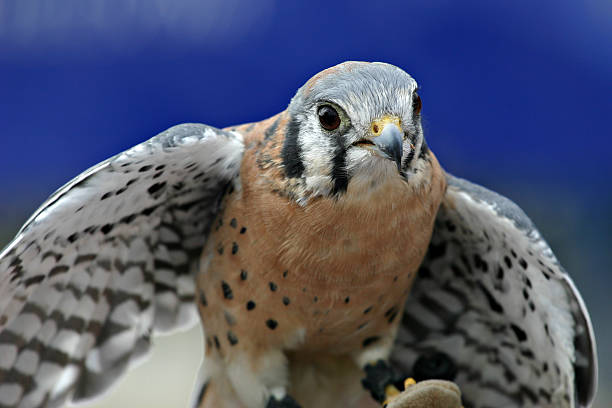 American Kestrel Falcon (Falco sparverius) Close-up stock photo