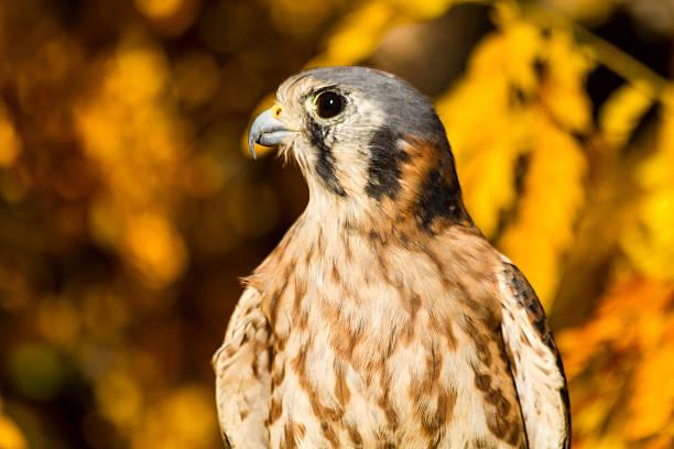 American Kestrel Falcon in Autumn Setting stock photo