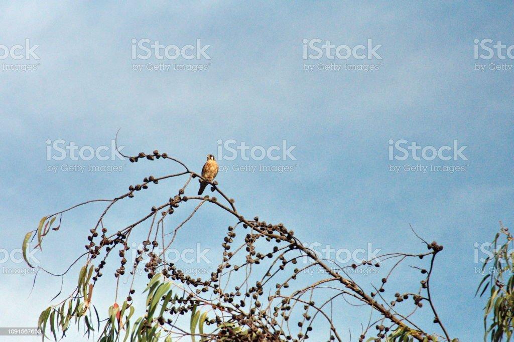 American kestrel in a tree stock photo
