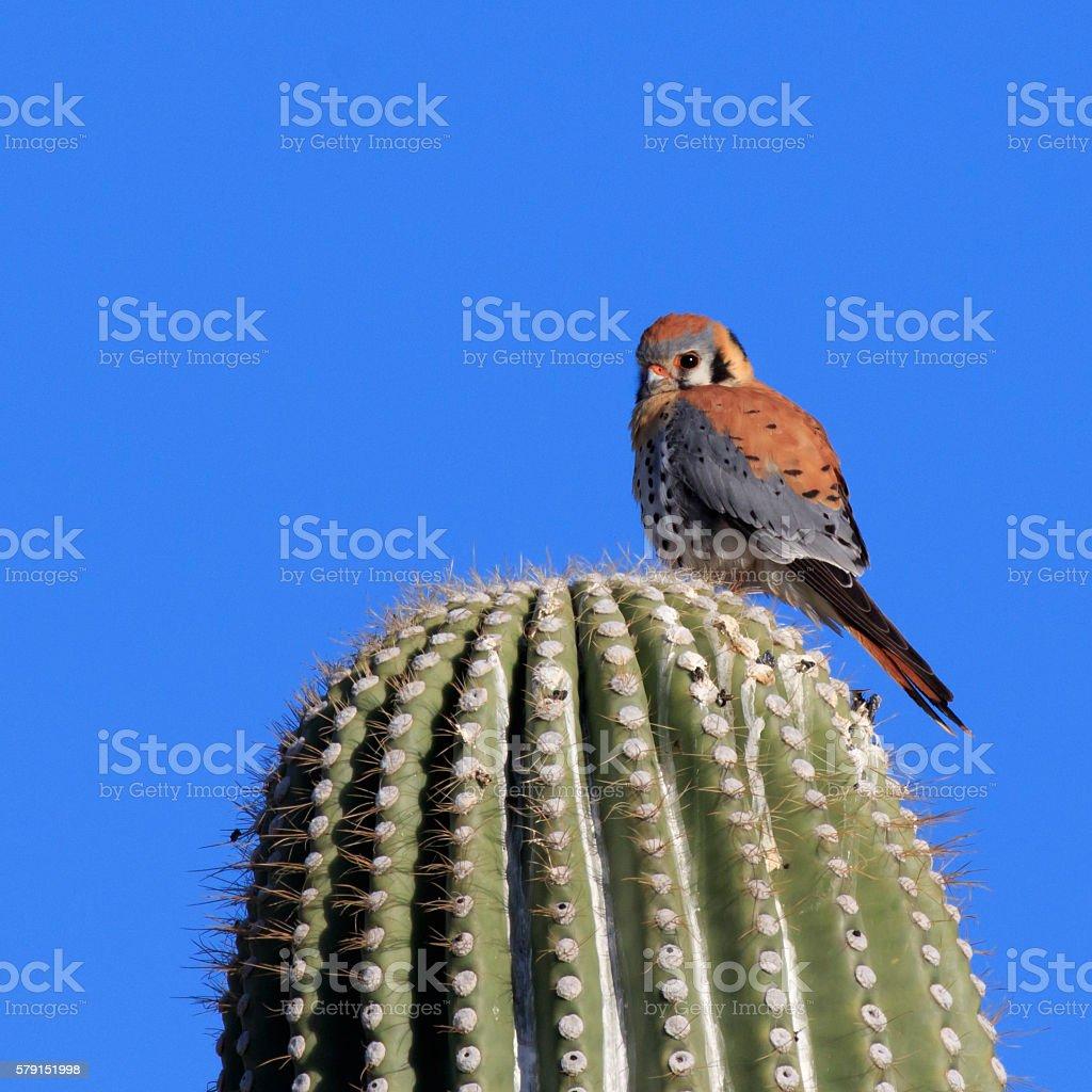 American Kestrel on Saguaro stock photo