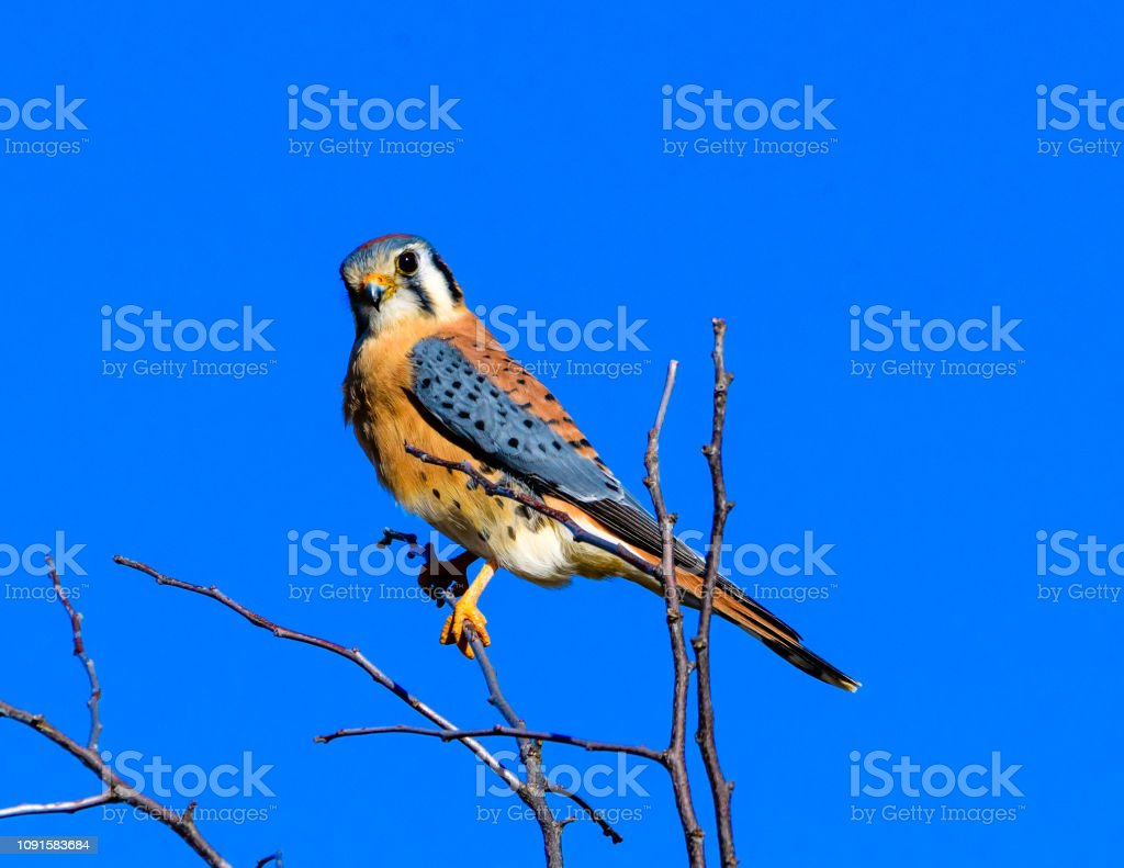 American kestrel (Falco sparverius) perched on a branch stock photo