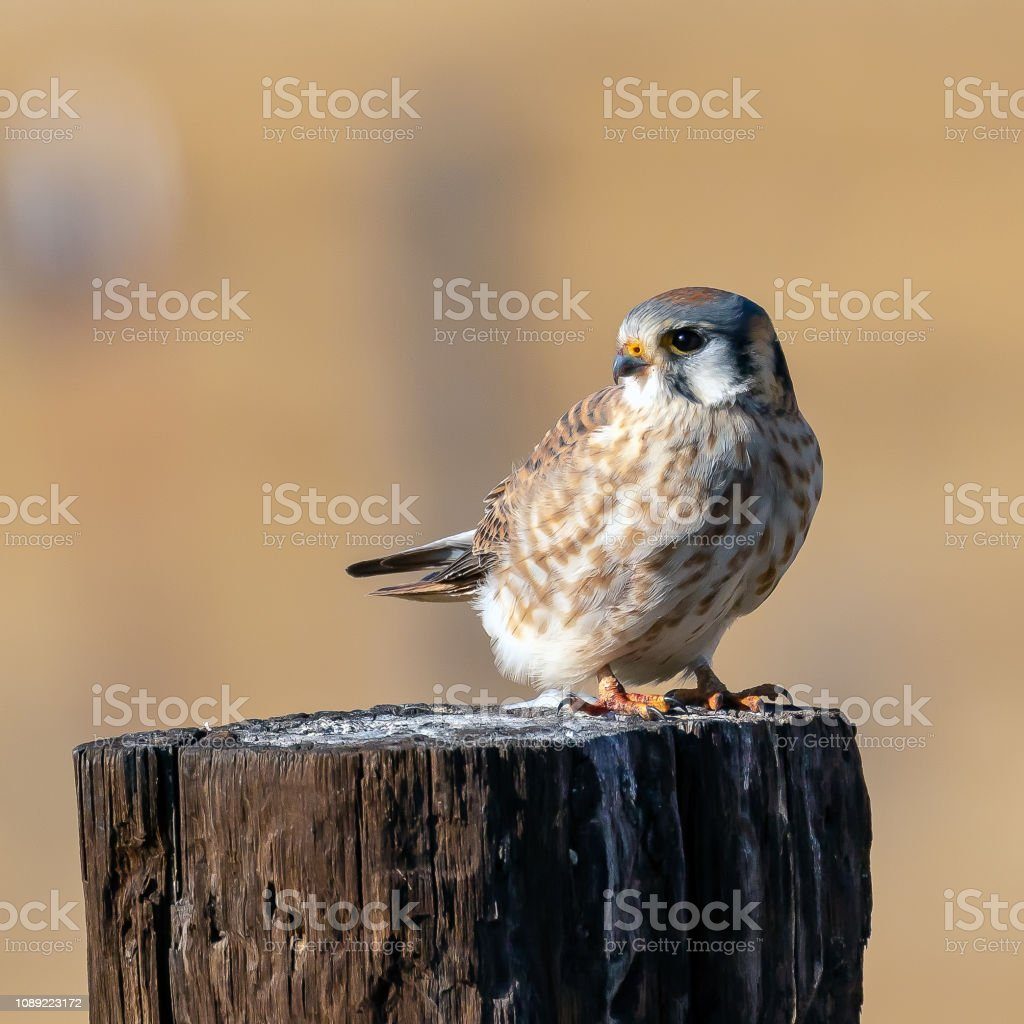 American Kestrel (Falco sparverius) perched on a post. stock photo