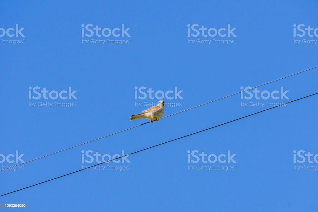 American Kestrel perched on an electricity line, California stock photo