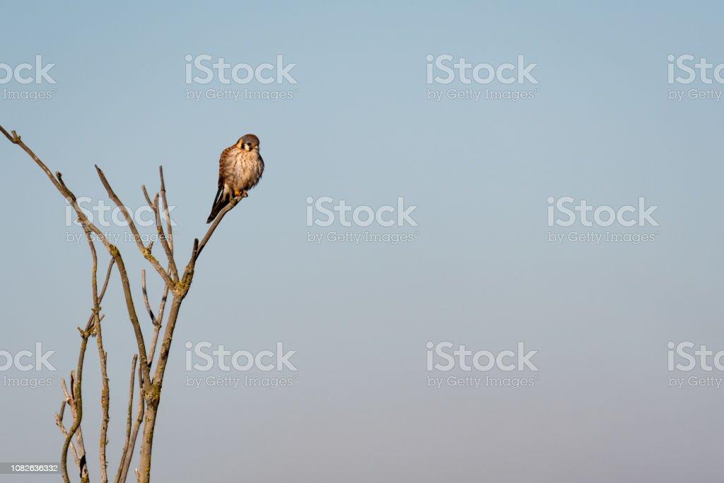 American Kestrel stock photo