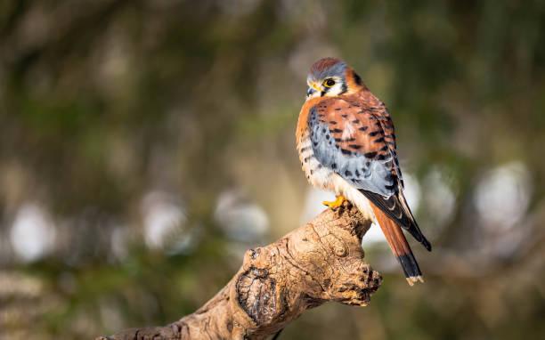 amerikaanse torenvalk - ornithologie stockfoto's en -beelden