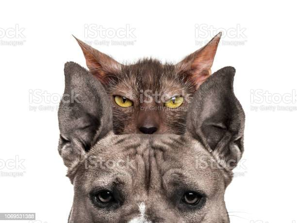 American mastiff with lykoi cat behind in front of white background picture id1069531388?b=1&k=6&m=1069531388&s=612x612&h=vhlp10i8 zubeob1bqj2eiektd9qpvpqqvui 3njjfs=
