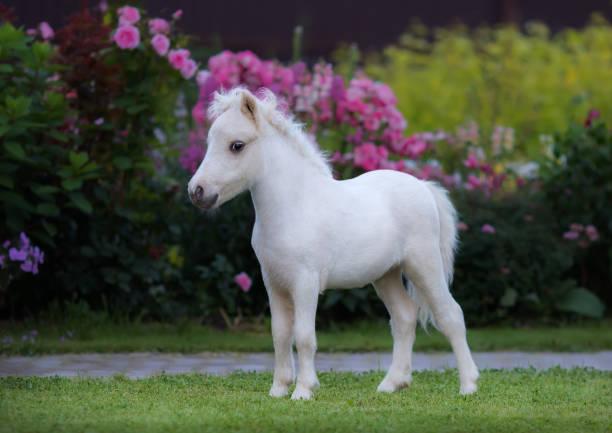 American miniature horse palomino foal in garden picture id841843516?b=1&k=6&m=841843516&s=612x612&w=0&h=xhxvrvycyfexhhdou3n9c4iu2dy7fsrx9ki nrcikbo=
