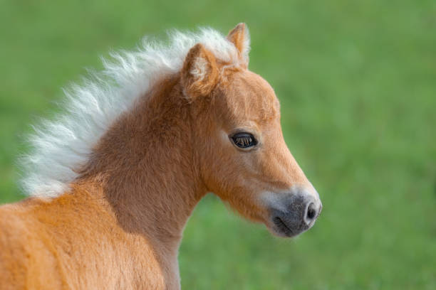 American Miniature Horse. Portrait close up of palomino foal. American Miniature Horse. Portrait close up of palomino foal on blurred green background. palomino stock pictures, royalty-free photos & images