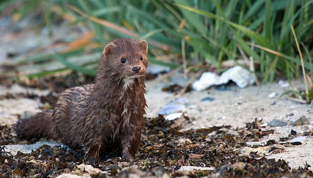 American Mink stock photo