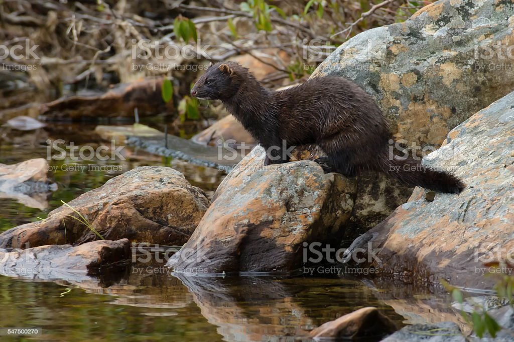 American Mink royalty-free stock photo