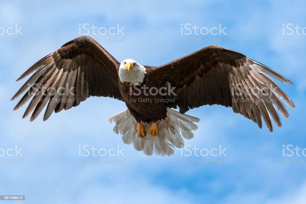 Amerikaans nationaal symbool adelaar met vleugels uitgespreid op zonnige dag geïsoleerd door Sky foto