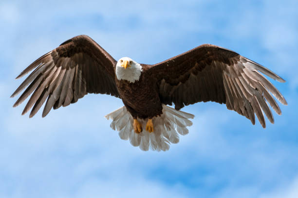 American National Symbol Bald Eagle with Wings Spread on Sunny Day Isolated by Sky stock photo
