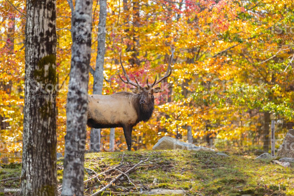 American or Canadian Elk. stock photo