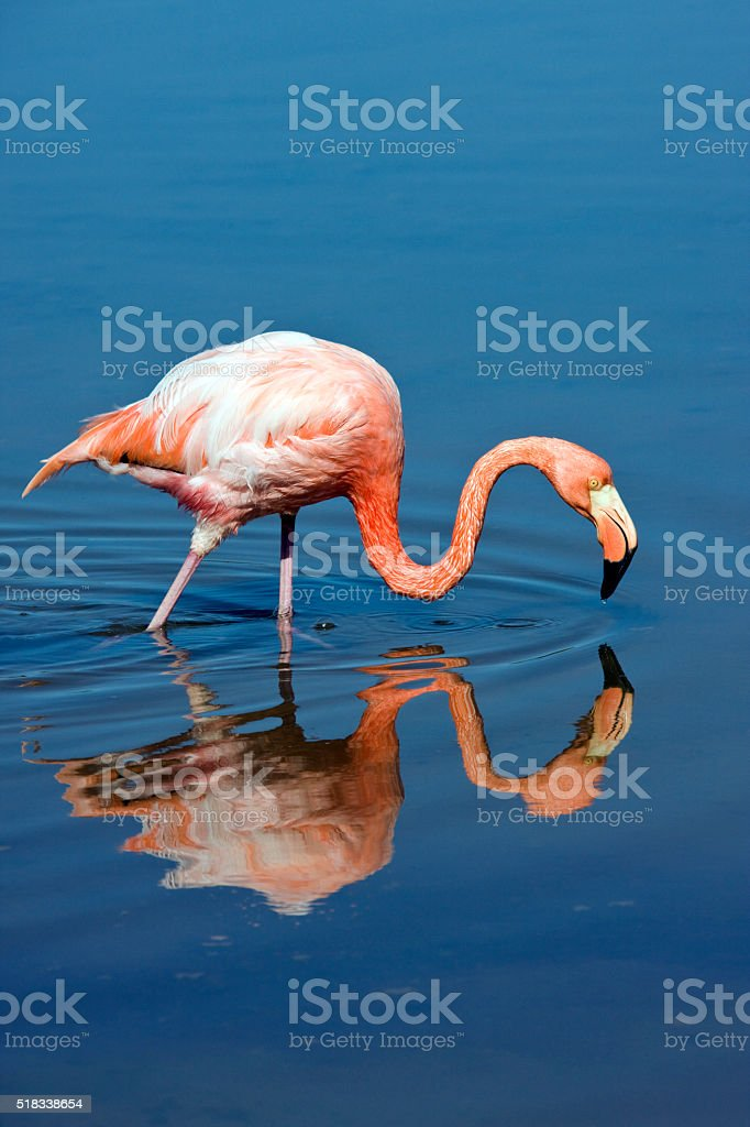 American or Caribbean Flamingo (Phoenicopterus ruber) stock photo
