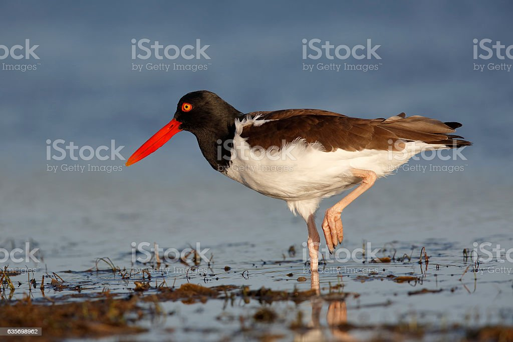 American Oystercatcher standing on one leg - Florida royalty-free stock photo