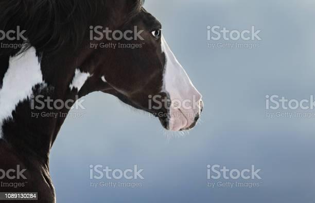 American paint horse portrait on dark blue background picture id1089130284?b=1&k=6&m=1089130284&s=612x612&h=sc5ak 9a6ppgol ghzjzkzqtju5prvjmcujsjiin5b0=
