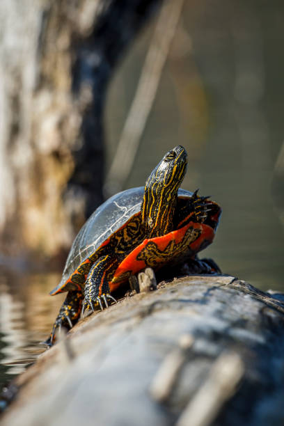 American painted turtle basking in the sun. stock photo