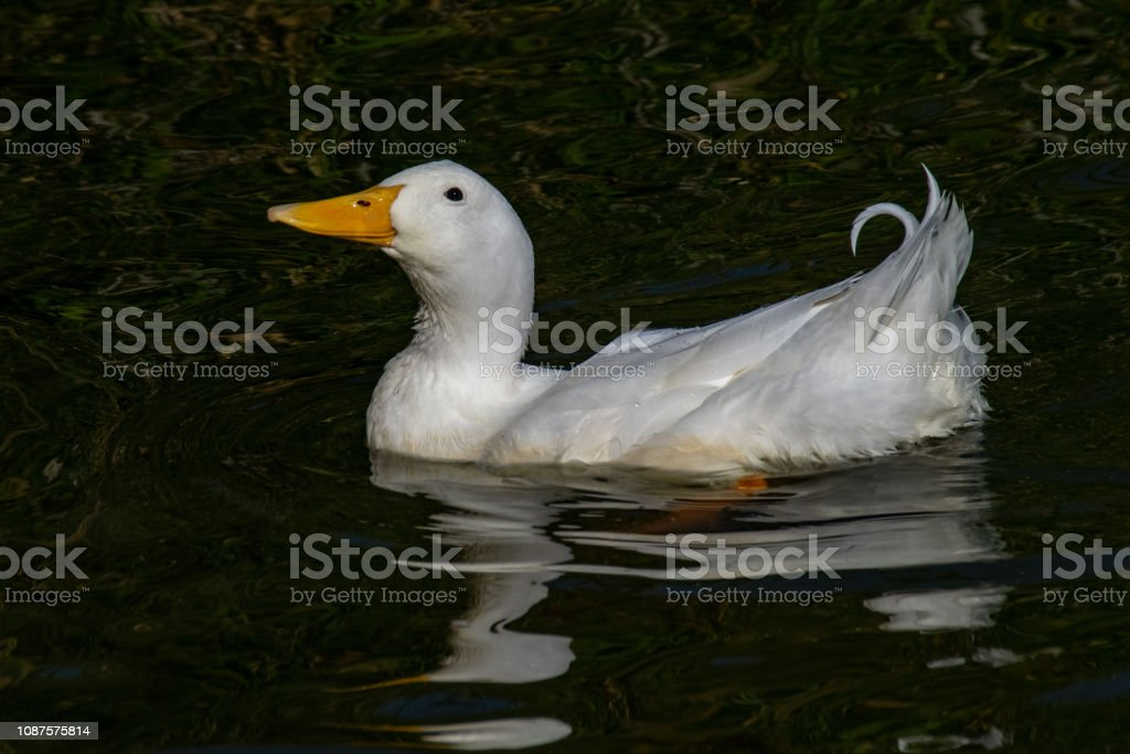 American Pekin Duck also known as Long Island White Duck (Anas platyrhynchos domesticus) stock photo
