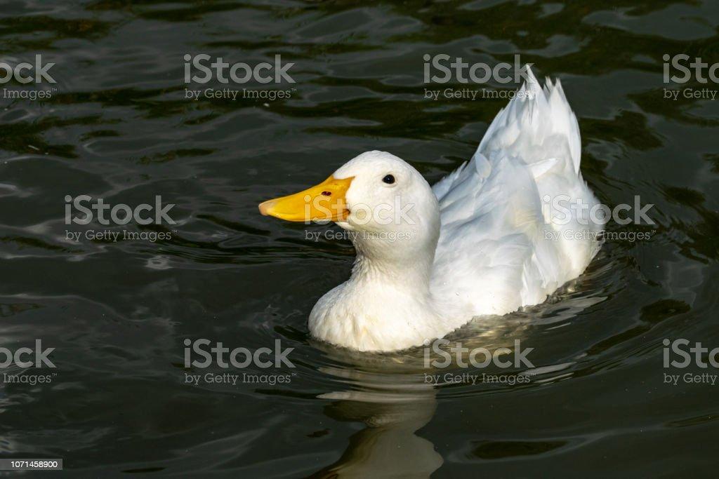 American Pekin Duck stock photo