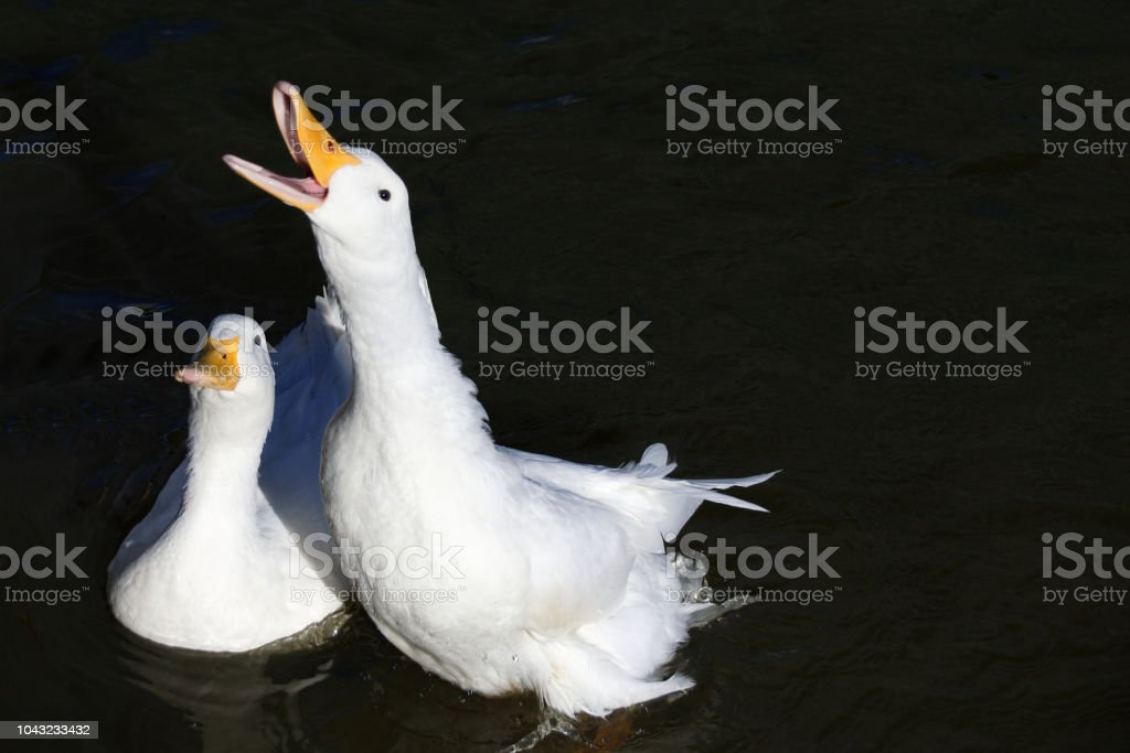 American Pekin Duck reaching out of the water for duck food stock photo
