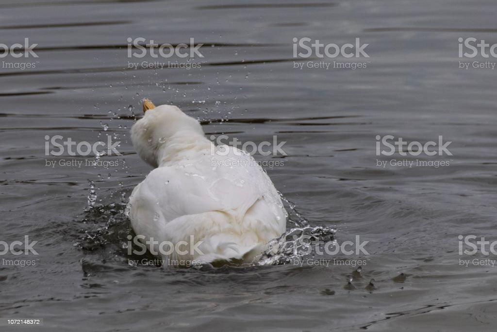 American Pekin Duck splashing and preening feathers stock photo