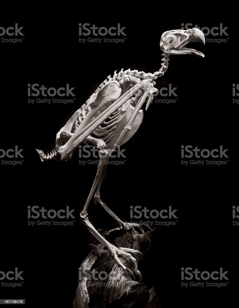 american peregrine falcon stock photo