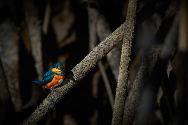 American pigmy kingfisher (Chloroceryle aenea) beautiful kingfisher. Sitting on a branch in the mangroves of Tarcoles river, Costa Rica. stock photo
