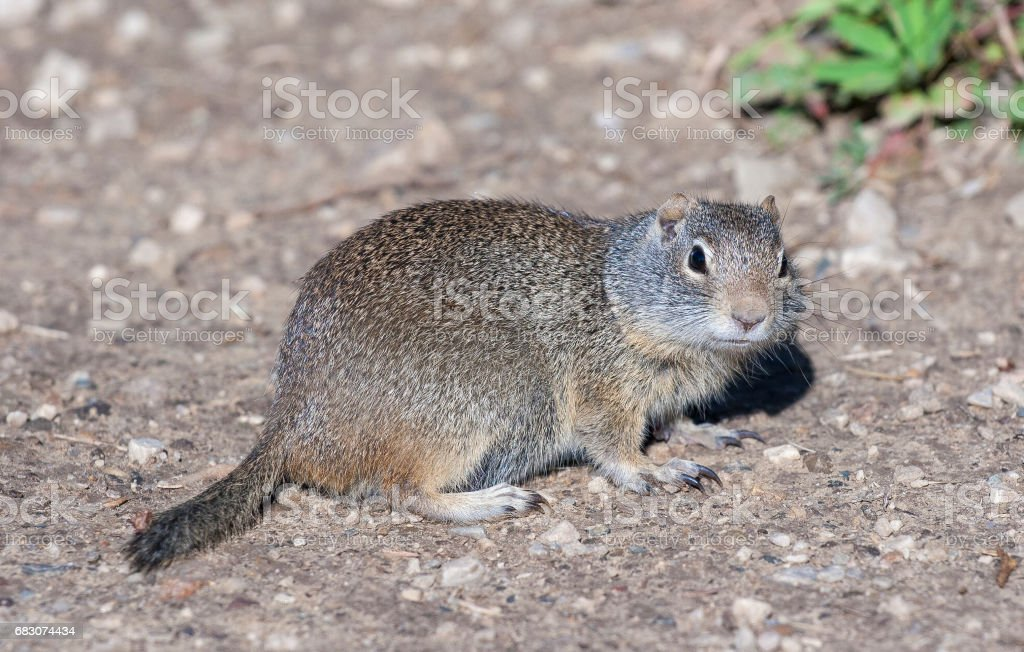American pika on gravel with claws extended in Canada foto de stock royalty-free