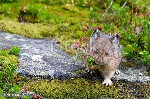 istock American Pika with grass in its mouth. 607911060