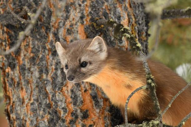 American Pine Marten stock photo