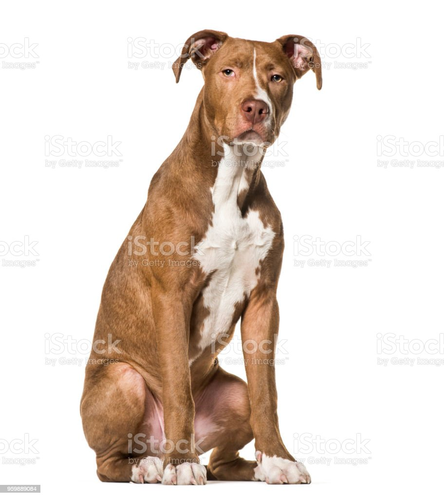 American Pit Bull Terrier , 6 months old, sitting against white background stock photo